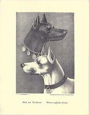1890 Jean Bungartz Dog Art Head Print Reproduction Standard Manchester Terrier