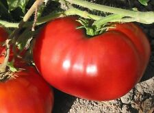250 Delicious Heirloom Tomato Seeds - World Record 7lb Tomatoes + Gift - COMB S/