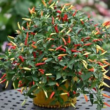 25Pcs Giant Spices Spicy Red Chili Hot Pepper flores Plants potted Seeds. #258