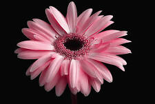 Canvas Picture Floral Pink on Black Wall Artwork Framed