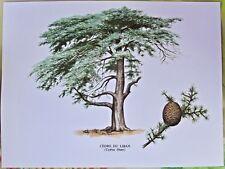 Ancienne Impression Papier Botanique Arbre Cèdre du Liban d'après Gaston Bonnier