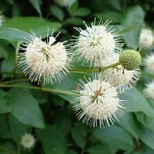 Cephalanthus Occidentalis - 50 Seeds - Button Bush or Button Willow
