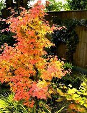 Acer palmatum Atropurpureum orange dream Fächer Ahorn **3215