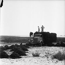 LOCTUDY c. 1950 - Ramassage du Goémon Finistère - Négatif 6 x 6 - N6 BR8