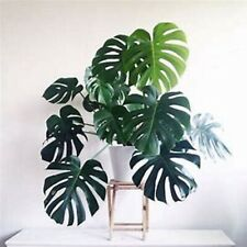 Free Gift With Monstera Deliciosa W Split Leaf Beautiful Ships Bare Root