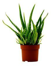 ALOE VERA Medicinal Plant -12 cm pot , 30 cm tall  Barbadensis Miller