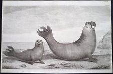 Antique engraving, A sea lion and lioness