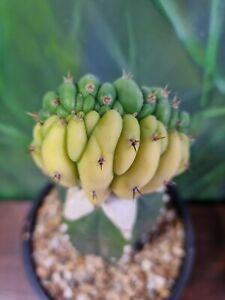 Tricho 'Dr Funkenstien' Crest Variegated Large Rare Collectors Cactus Clone 🌵