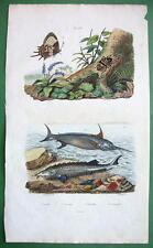 BUTTERFLY Swordfish Sturgeon Erotypus Beetle !! SUPERB H/C Color Print Guerin