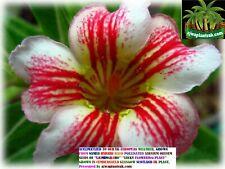 Acclimatized GROWN IN SCOTLAND ADENIUM OBESUM LAIMUNGKORN Plant by ajwaplantsuk.
