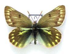 Lepidoptera Colias mongola, A1-, male, Altai, RARE