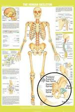 HUMAN SKELETON - CHART POSTER 24x36 - SCHOOL EDUCATION 34331