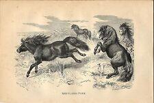 Stampa antica CAVALLI PONY SHETLAND HORSES 1891 Old antique print