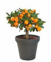 Obst Zimmerpflanze Exot essbar Früchte selten Balkon Kübel Terrasse ORANGEN-BAUM
