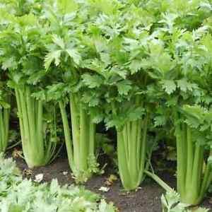 2500+ Tall Utah Celery Seeds | Non-GMO | Fresh Garden Seeds USA Grown Heirloom