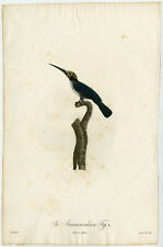 Rare Antique Print-BIRD-JACAMARALCION-Pelletier-Levaillant-Barraband-1801