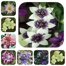300 Mixed Seeds Rare Special Clematis Potted Climbing Flower More Colors Garden