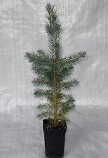 Majestic Blue Spruce, Picea Pungens Glauca Container Grown  50 - 75cm inc Pot.