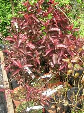 Purple Leaf PLUM Shrub Tree Prunus CRIMSON DWARF 18-24IN 3L/19cm POT Blossom