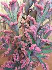 "Beautiful Kalanchoe ?Pink Butterflies ?2 CUTTINGS ONLY"" succulent plant +1 BONUS"