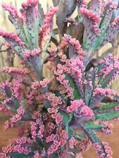 "Beautiful Kalanchoe ""Pink Butterflies ""2 CUTTINGS ONLY"