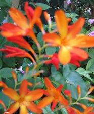 Crocosmia Aurea Tombant Étoiles St.Valentin Fleur Montbretia 10/_Semences
