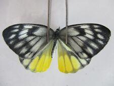 PI2021. Unmounted butterflies: Delias vietnamensis. Central Vietnam.