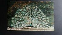 'Fine Feathers Make Fine Birds' Peacock Millar & Lang Real Photo 1908 Postcard