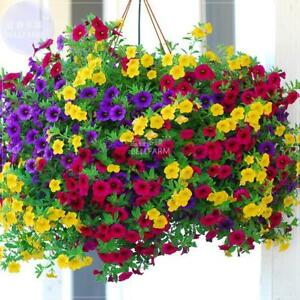 Hanging Petunia Mixed Color Seeds Flower Perennial Bonsai Calibrachoa - 200 Seed