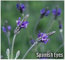(20)  Spanish Eyes Lavender Flower / Herb SEEDS - Fern Leaf or Egyptian Lavender