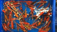"""(20) 7"""" to 8"""" ASSORTED JAPANESE Koi live fish standard fin"""