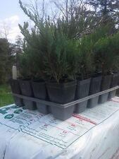 Lot of Ten (10)Juniper, Blue Tamarix  'Tamariscifolia New Blue' (ground cover)