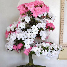 Rare Bonsai Pink and White Azalea Seeds  Sakura Japanese Cherry Blooms