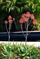 ** Für die Gesundheit sehr beliebt: die schöne Gefleckte Aloe Samen Saatgut.