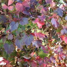 Boston Ivy Parthenocissus Lowii Climbing Plant