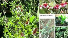 Anspruchslose Zimmerpflanze: Süsse Ananas-Guave