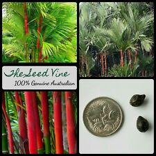 20 LIPSTICK PALM TREE SEEDS (Cyrtostachys renda) Red Ornamental Tropical Plant