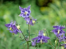 100+DWARF COLUMBINE Seed European Woodland Wildflower Garden/Patio Containers