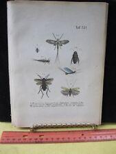 Vintage Print,EPHEMERA VULGATA,German Entomology,Reichenbacks