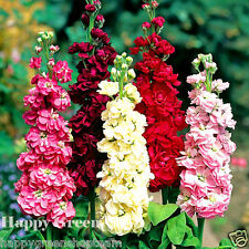 Stock Mix - 150 SEEDS - Matthiola Incana annua - ANNUAL FLOWER
