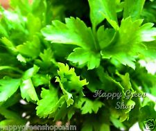 FREE UK P&P - PARSLEY FLAT - 500 SEEDS - ITALIAN GIANT
