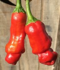 10+ Fresh  Red Peter Hot Pepper Seeds