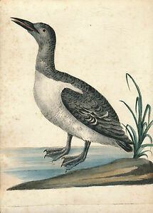 Saverio Manetti bird hand color etching 1767 Uria maggiore Common Murre auk
