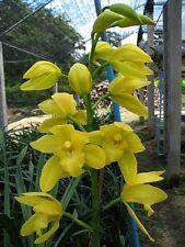 ORCHIDEE    cymbidium golden vangard 'emperor'        6-1