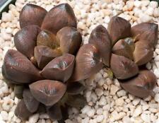 Haworthia 'Cadberry' x maughanii cluster