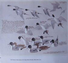Beau Tunnicliffe Oiseau Imprimé ~ Pintails