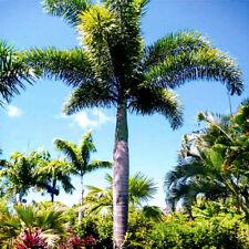 Foxtail Palm - Wodyetia bifurcata 15cm high $1.50 postage for each additional