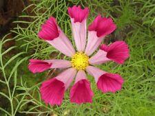 50 Semillas de Cosmos bipinnatus (Cosmos bipinnatus)