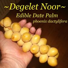 ~Deleget Noor~ EDIBLE DATE PALM Phoenix dactylifera 10 Seeds from Organic Dates