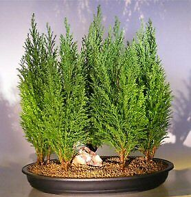 Italian Cypress Bonsai Tree Seeds for Planting | 50 Seeds | Exotic Evergreen